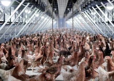 Chicken manure pellets 15-tradeinfact