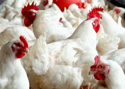 Chicken manure pellets 16-tradeinfact